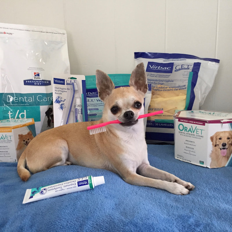 Chihuahua dental care